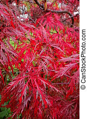 Bright red autumn leaves of weeping laceleaf Japanese maple (acer palmatum dissectum)