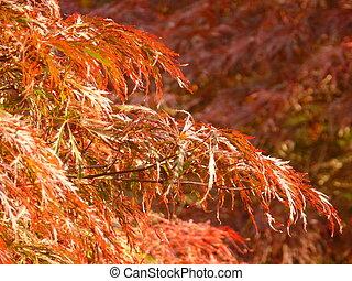 Sunlit leaves of weeping laceleaf Japanese maple (acer palmatum dissectum)