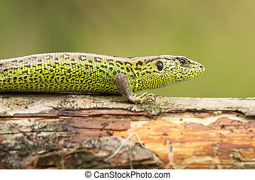 Lacerta agilis basking on wood stump ( common european sand...