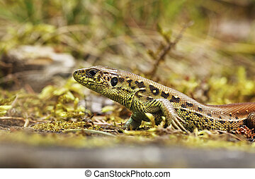 Lacerta agilis closeup in natural habitat, the european sand...