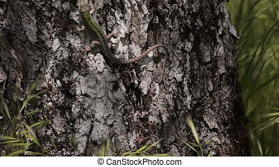 Lacerta agilis Europe - Lizard Lacerta agilis in natural...