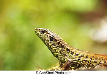 Lacerta agilis macro portrait, the common sand lizard,...