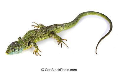 Lacerta Bilineata in front of white background