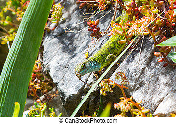 Lacerta viridis, green lizard with blue head