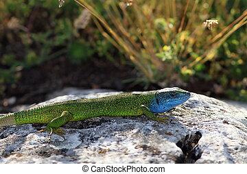 lacerta viridis, male basking on a limestone rock in mating...