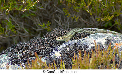 lacerta vivipara, common lizard, pictured in the highlands...