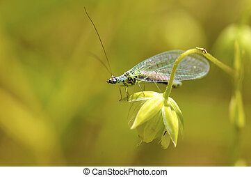 Lacewings on grass