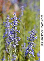 Lacey Blue Russian sage - Latin name - Perovskia ...
