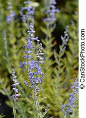 Lacey Blue Russian sage - Latin name - Perovskia atriplicifolia Lacey Blue
