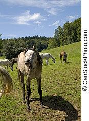 lachender, pferd