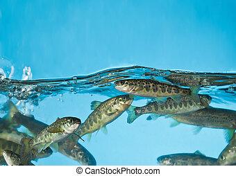 lachs, schwimmender, in, aquarium