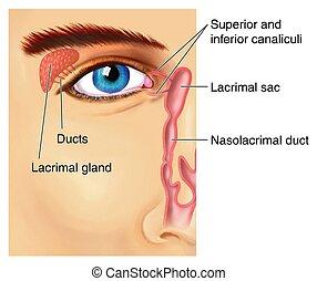 lacrimal, apparaat