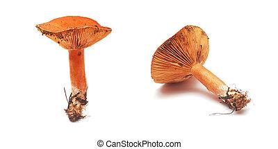 lactarius deliciosus mushroom, also known as milk-cap mushroom