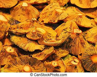 lactarius deliciosus or saffron milk cap
