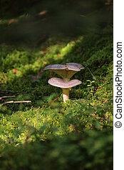 Lactarius trivialis, a mushroom of the milk-cap genus.
