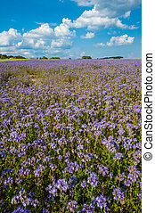 Lacy phacelia field - Field of blooming Lacy phacelia...