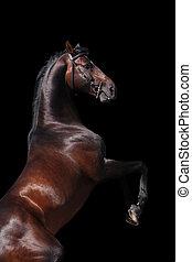 ladre cavalo, garanhão, criando cima