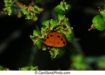 lady beetle (coccinella)