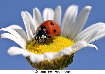 Lady bug on daisy - Seven spot ladybug (Coccinella ...