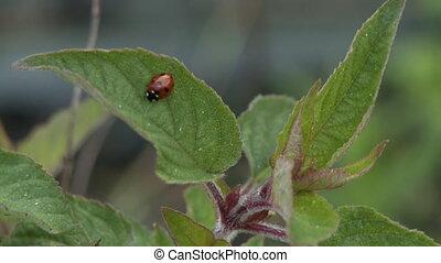 Steady, close up shot of a ladybug on a plant leaf.