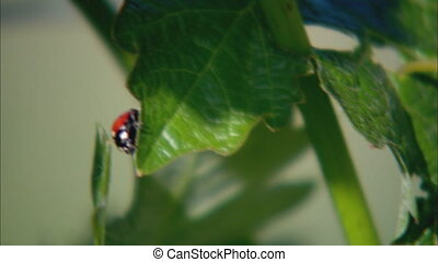 Lady bug XCU - CU of a ladybug crawling on a vineyard leaf