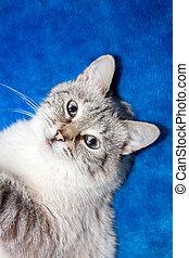 lady-cat, Tailandês, raça
