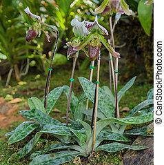 Lady slipper orchid. Paphiopedilum callosum flower.