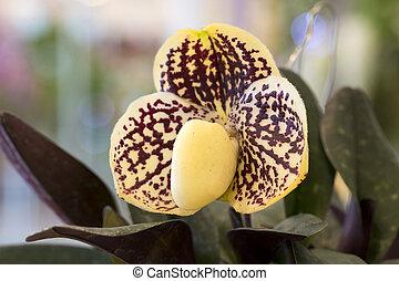 Lady Slipper Orchid Paphiopedilum.