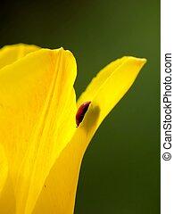 ladybird., a, gelber , tulip.