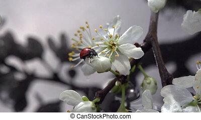 Ladybird and Spring Rain