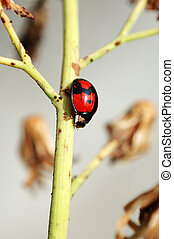 Ladybird and stalk
