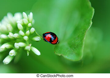 Ladybird and white f
