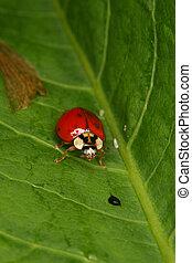Ladybird beetle (Coccinella ) - Ladybird beetle (Coccinella)...