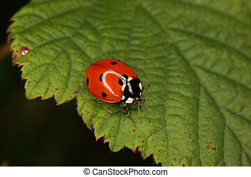 Ladybird beetle (Coccinella septempunctata) on a fly to eat...