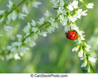 Ladybird beetle on white flowery background