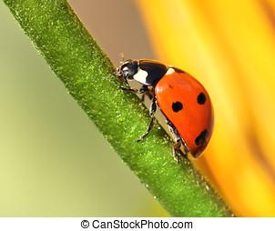 Ladybird climbing flower stem - Ladybird climbing upward...