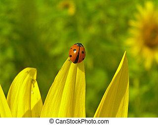 Ladybird (Coccinella septempunktata) - It belongs to the...
