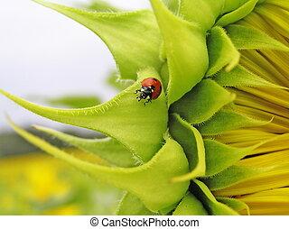 Ladybird (Coccinella septempunktata) on a sunflower. -...