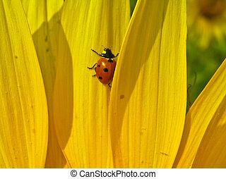 Ladybird (Coccinella septempunktata) on sunflower petals.