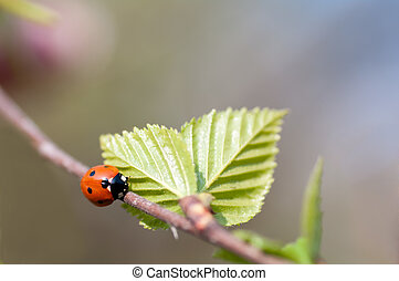 ladybird crawling on a branch with a young birch leaves
