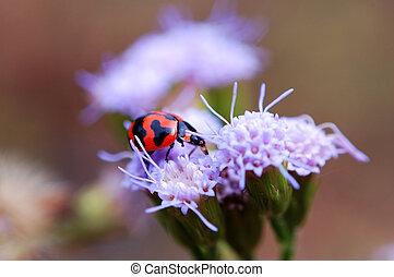 Ladybird eating peta - A ladybird eating petals of purple...