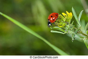Ladybird in search of plant-louse on the wild flower