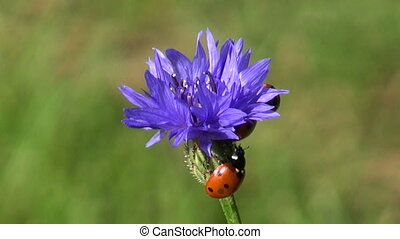 ladybird ladybugs on cornflower