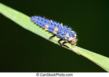 Ladybird larvae - Nymph of the ladybug or ladybird...