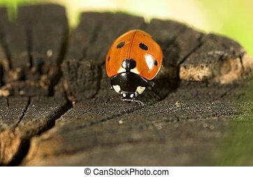 Ladybird on a Tree Stump - Macro image of a ladybird on a...
