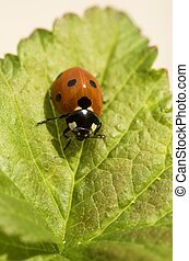 Ladybird on Currant Leaf