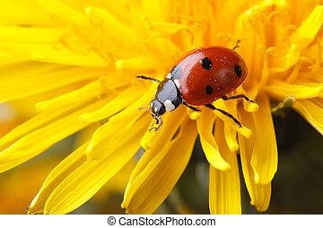 Beautiful ladybug on dandelion flower in spring. macro