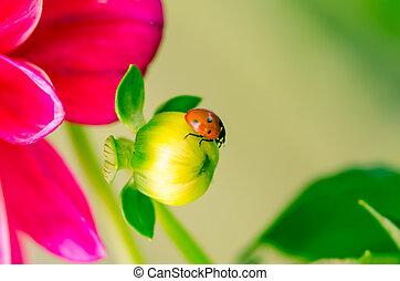 ladybird on flower bud