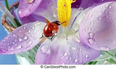 Ladybird on flower crocus close up