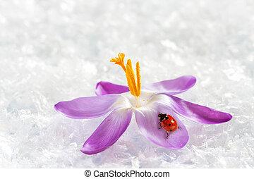 Ladybird on flower crocus